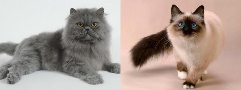 Diferenças entre gato persa e gato siamês