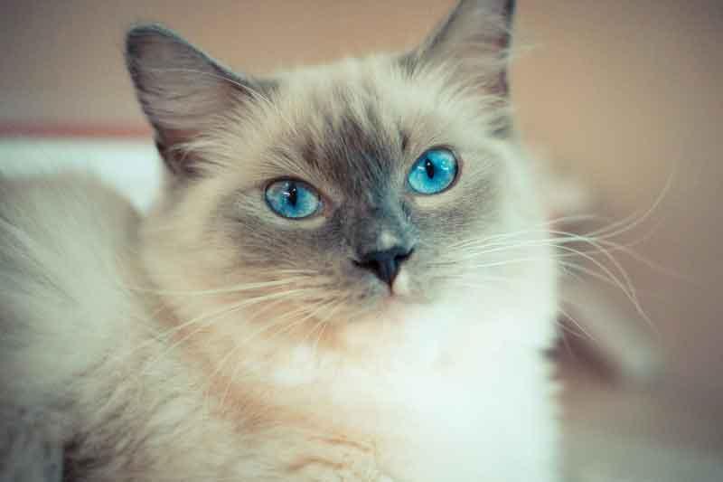 Causa de perda de pelos em gatos