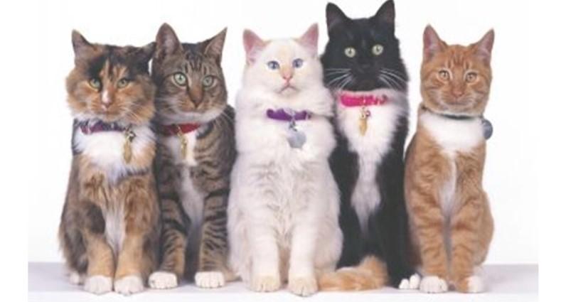 Raça de gato mais comum no Brasil