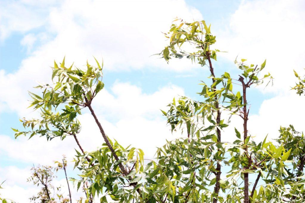 13 Curiosidades sobre o neem