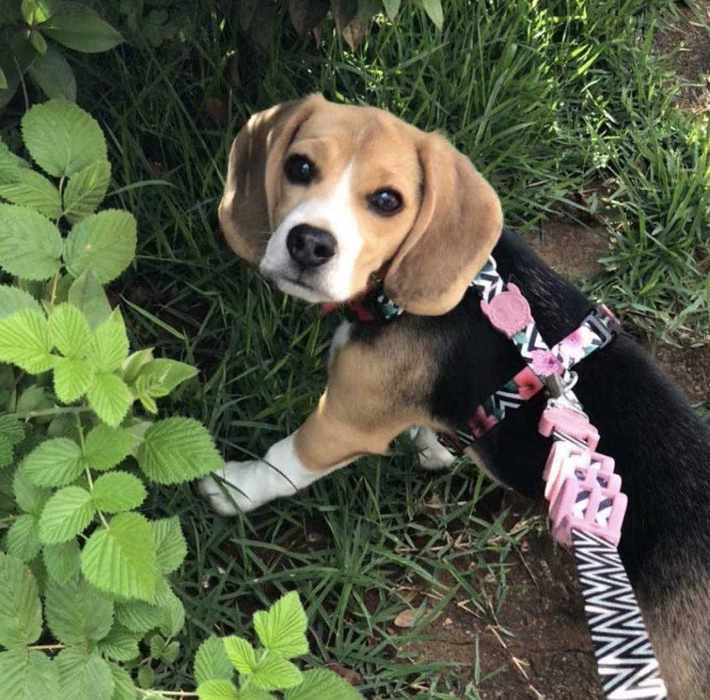 Tudo sobre beagle