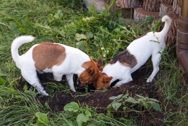 por que cachorro cava a terra