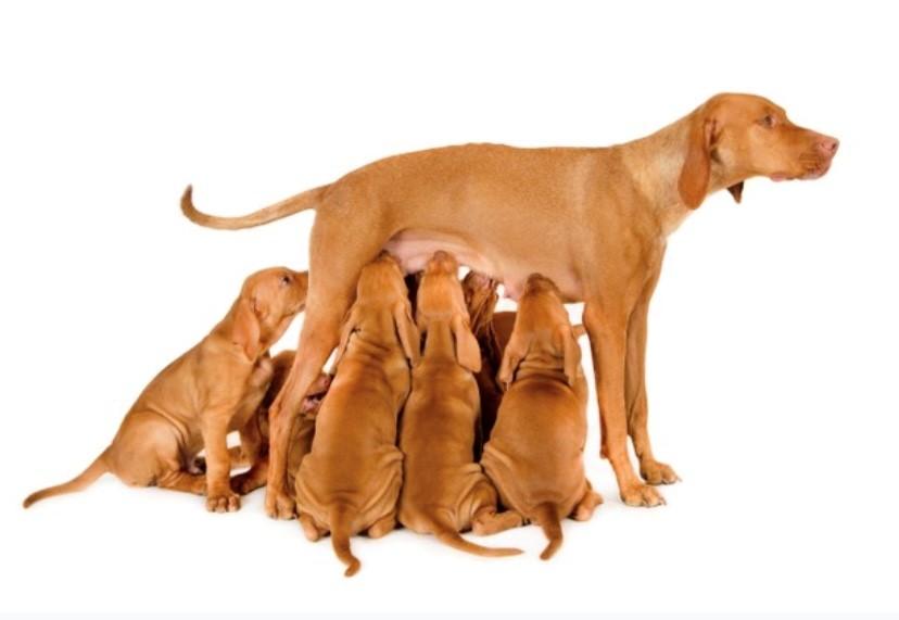 Gestação de cachorro
