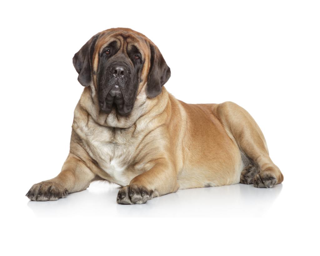 Quall é o cachorro mais pesado do mundo