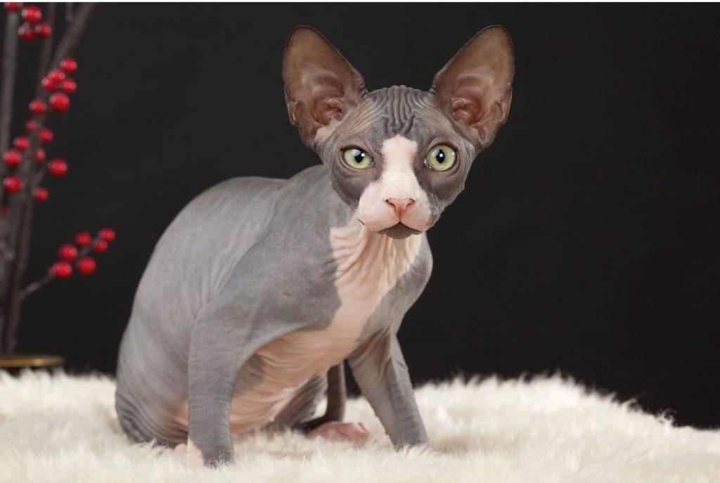o famoso gato sem pelos